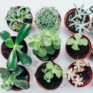 Empire Wholesale Succulents