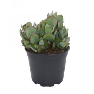 Crassula Bluebird Succulent Image