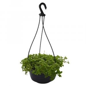 Sedum Green Mound Hanging Basket