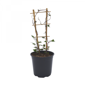Senecio Macroglossus Wax Ivy Image