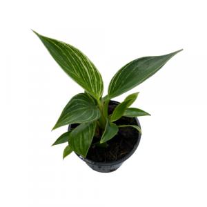 Philodendron Birkin 105 image