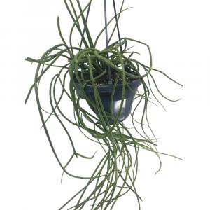 Rhipsalis Bacciera Image