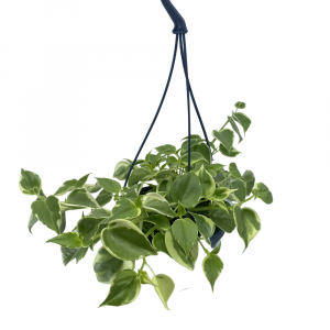 Peperomia Scandens Image