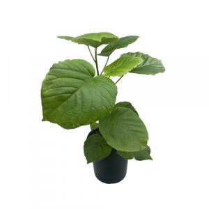 Ficus Umbellata 165mm Image