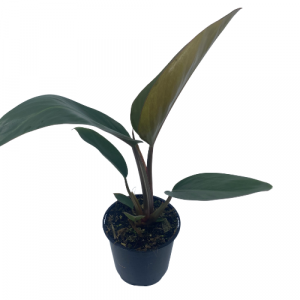 Philodendron Red Princess 130mm Image