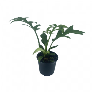 Philodendron Undulata Cinderella 130mm Image